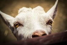 Koza Karłowata - Agroturystka