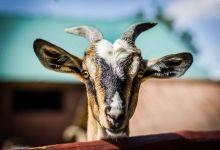 Koza - Agroturystka